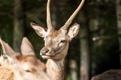 Perfil de un ciervo blanco-atado jóvenes Imagenes de archivo