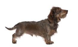 Perfil de un dachshund Wire-haired de Brown Fotografía de archivo