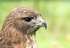 Perfil de un halcón del Red-Tail (jamaicensis del Buteo) fotografía de archivo libre de regalías