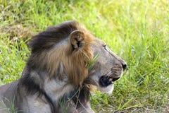 Perfil de un león Imagen de archivo libre de regalías