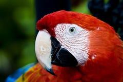 Perfil de un Macaw del escarlata del loro (Ara Macao) Fotografía de archivo