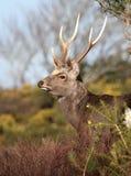 Perfil de un macho de los ciervos de Sika con las astas fotografía de archivo