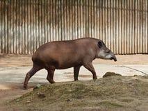 Perfil de un tapir Fotografía de archivo libre de regalías