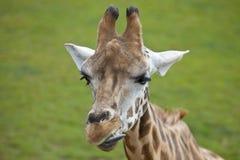 Perfil de una cabeza de la jirafa Imagen de archivo
