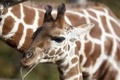 Perfil de una cabeza reticulada joven de la jirafa Imagen de archivo