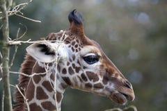Perfil de una cabeza reticulada joven de la jirafa Fotos de archivo libres de regalías
