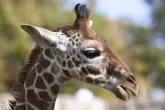 Perfil de una cabeza reticulada joven de la jirafa Foto de archivo