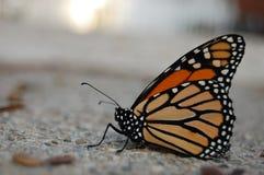 Perfil de una mariposa de monarca trenzada en la acera imagenes de archivo