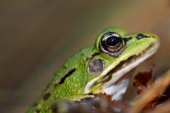Perfil de una rana verde fotografía de archivo libre de regalías