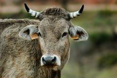 Perfil de una vaca en el campo Fotos de archivo