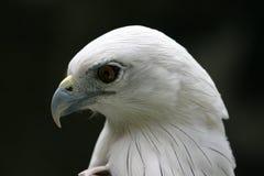 Perfil del águila Fotografía de archivo libre de regalías