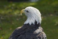 Perfil del águila calva Imagen de archivo libre de regalías