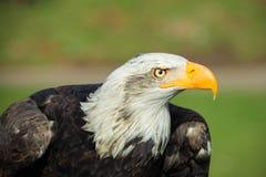 Perfil del águila calva Foto de archivo libre de regalías