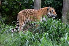 Perfil del altaica del Tigris del Panthera en parque zoológico Imagen de archivo libre de regalías