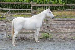 Perfil del caballo capón blanco maduro Fotografía de archivo libre de regalías