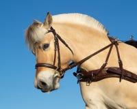 Perfil del caballo de carro del fiordo imagen de archivo libre de regalías