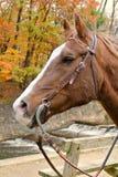 Perfil del caballo de la caída Foto de archivo libre de regalías