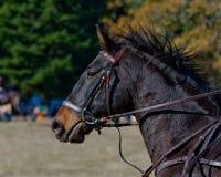 Perfil del caballo de salto de la demostración Foto de archivo