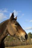 Perfil del caballo joven de Brown Foto de archivo