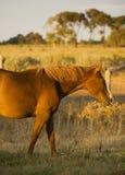 Perfil del caballo que pasta Foto de archivo libre de regalías