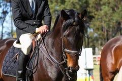 Perfil del caballo del Showjumping Foto de archivo