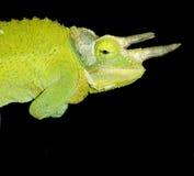 Perfil del camaleón Fotos de archivo