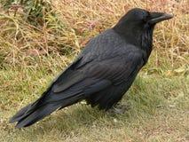 Perfil del cuervo Imagen de archivo libre de regalías