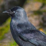 Perfil del cuervo Foto de archivo libre de regalías