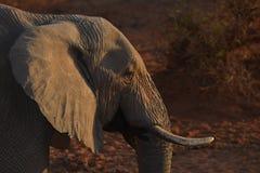 Perfil del elefante de la puesta del sol Imágenes de archivo libres de regalías