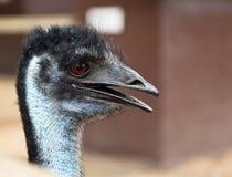 Perfil del Emu Imagen de archivo libre de regalías