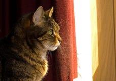 Perfil del gato de Tabby de Brown Imagen de archivo libre de regalías