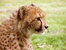 Perfil del guepardo Fotografía de archivo