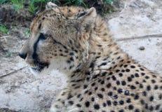 Perfil del guepardo Foto de archivo