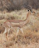 Perfil del impala Foto de archivo libre de regalías