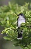 Perfil del Kingbird del este Fotografía de archivo libre de regalías