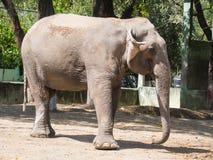 Perfil del lado del primer del elefante asiático imagen de archivo