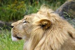 Perfil del león fotos de archivo