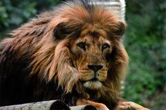 Perfil del león del color fotos de archivo libres de regalías