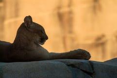 Perfil del león de montaña Imagenes de archivo