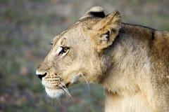 Perfil del león femenino Imagenes de archivo