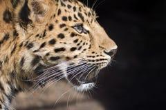 Perfil del leopardo Imagenes de archivo