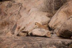 Perfil del leopardo en rocas, Bera, la India imagen de archivo