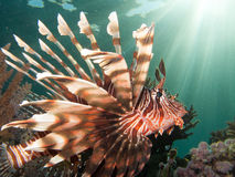 Perfil del Lionfish con los haces del sol Fotos de archivo
