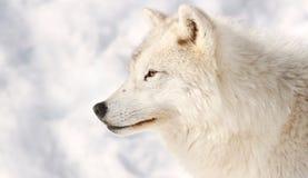 Perfil del lobo Imagen de archivo libre de regalías