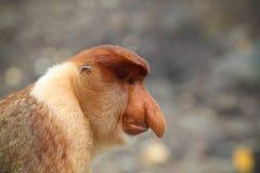 Perfil del mono de probóscide Foto de archivo libre de regalías