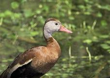 Perfil del pato que silba Foto de archivo libre de regalías