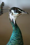 Perfil del pavo real Fotografía de archivo