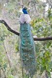 Perfil del pavo real Foto de archivo libre de regalías