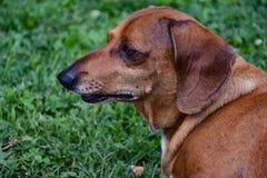 Perfil del perro basset clasificado estándar rojo Imagen de archivo