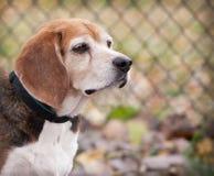 Perfil del perro mayor del beagle que mira adelante delante de la cerca Fotografía de archivo libre de regalías